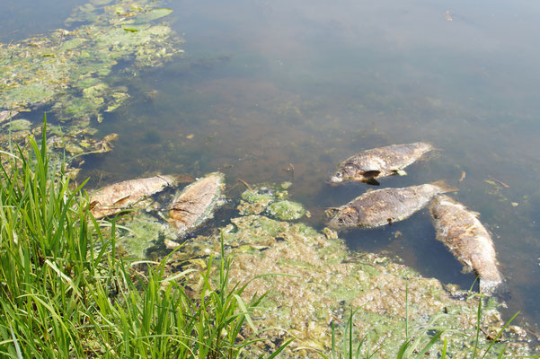 Tote Karpfen (Cyprinus carpio) am Einfluss der Hunte in den Dümmer. Die Fische sind gerade in der Laichzeit und vermutlich durch erhöhten Stress in Kombination mit niedrigen Sauerstoffwerten im Fluss gestorben.