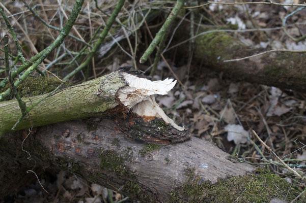 Nagespuren eines Bibers (Castor fiber) an der Hase. Das Nagetier kann mit seinen enormen Nagezähnen Bäume von erheblicher Dicke fällen.
