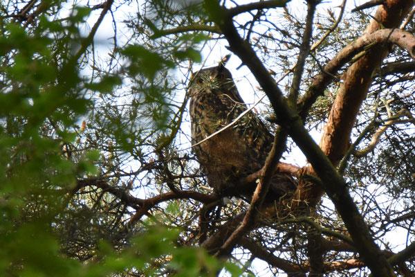 """Auf dem Rückweg sah dann eine Teilnehmerin noch einen """"riesengroßen Vogel"""" der sich als rastender Uhu (Bubo bubo) entpuppte! Ein sensationeller Abschluss, da man diese Vögel tagsüber fast nie zu Gesicht bekommt."""