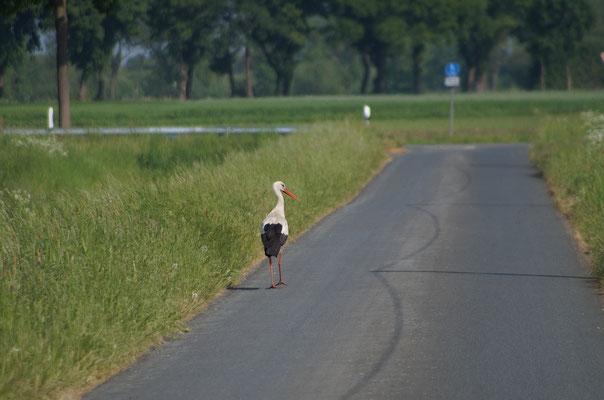 Ein Weißstorch (Ciconia ciconia) auf einem Feldweg. Er gehört zur Ordnung der Schreitvögel, die auf seine Jagdmethode hinweist. Der Vogel schreitet über Wiesen und Sumpfland und stößt dann mit dem Schnabel auf Insekten und kleine Wirbeltiere herab.