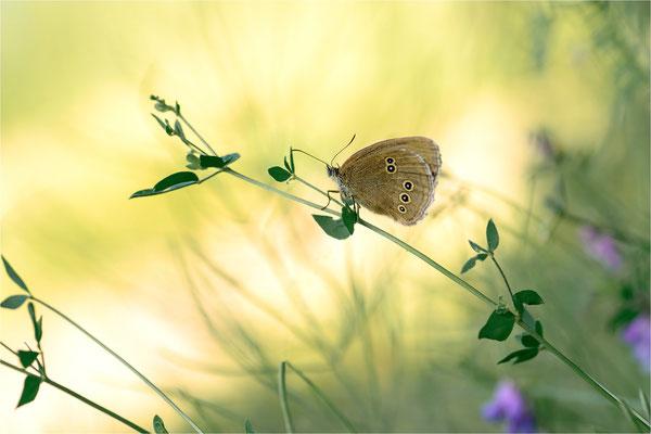 brauner Waldvogel