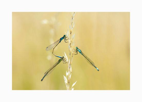 Pechlibellentrio -  Das Männchen und das Weibchen  bleiben bis die  Eiablage beendet ist verbunden.  Bildgröße: 30 x 45 cm       Bildnummer:   017 / R