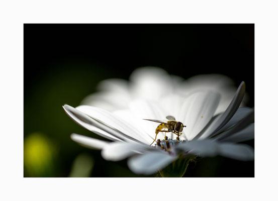 Blütengast  - Eine  Schwebfliege bei der Nahrungsaufnahme  Bildgröße: 30 x 45 cm       Bildnummer:   006 / R