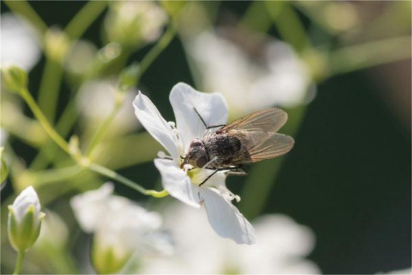 Fliege bei der Nahrungsaufnahme