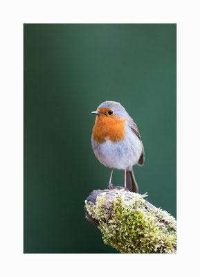 """Frühaufsteher - Schon in der ersten Morgendämmerung ist das """"Ticksen & Schnickern"""" des Rotkehlchens zu hören.   Bildgröße: 30 x 45 cm       Bildnummer:   005/ S"""