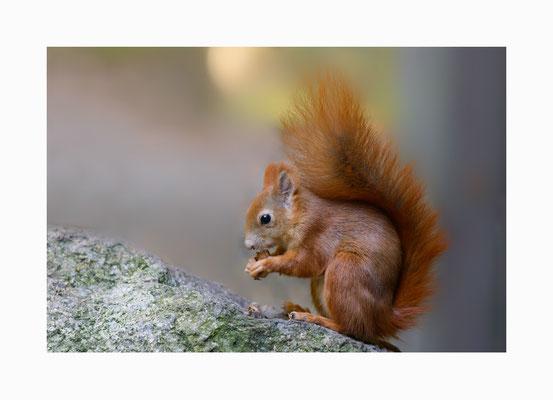 Katteker -  So nennt man im Niederdeutschen  Eichhörnchen.    Bildgröße: 30 x 45 cm       Bildnummer:   011 / R