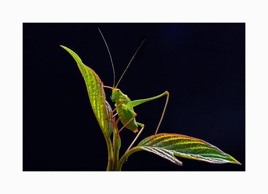 filigran -  Eine filigrane Naturschönheit;   die Zartschrecke.  Bildgröße: 30 x 45 cm       Bildnummer:   026 / R