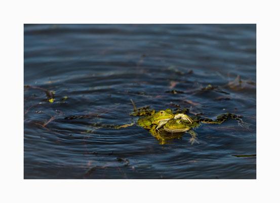 Beste Freunde  -  Ein  Froschpärchen  gesehen im Dorfteich  von Neuenkirchen. Bildgröße: 30 x 45 cm       Bildnummer:   008/ R