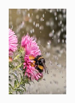 """Schutzschild - Die  Blüte bietet der Hummel ein wenig Schutz vor den  """"großen"""" Regentropfen . Bildgröße: 30 x 45 cm       Bildnummer:   004 / K"""