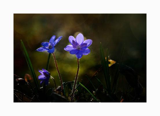 Verborgen -  Eine Augenweide aber leider relativ selten die unter strengem Naturschutz stehenden Leberblümchen. Bildgröße: 30 x 45 cm       Bildnummer:   015 / R