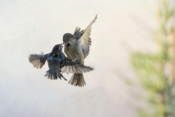 Streitvögel