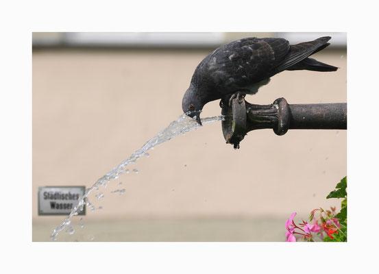 Wasserspiele  -  Auch Tauben scheinen Spaß an Wasserspielen  zu haben. Bildgröße: 30 x 45 cm       Bildnummer:   024/ R