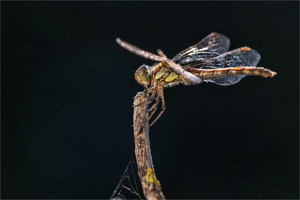 auch Heidelibellen nutzen das Biotop als Ansitz