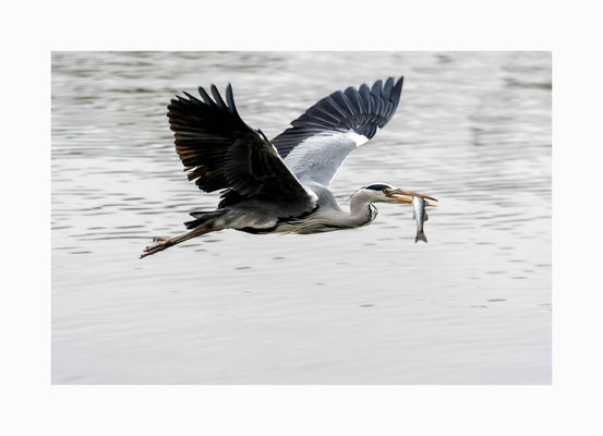 erfolgreich -  Ein Graureiher mit seinem Fang, einem Zander  Bildgröße: 30 x 45 cm       Bildnummer:   009 / R