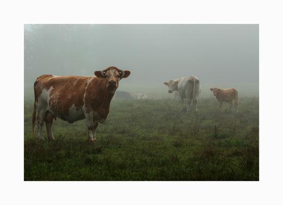 Wiesenbewohner -  Weidende Kuhherde im morgendlichen Frühnebel.  Bildgröße: 30 x 45 cm       Bildnummer:   006 / S