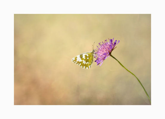 Lieblingspflanze  -  Ein  Resedafalter auf  seiner Lieblingspflanze der Kleeblüte. Bildgröße: 30 x 45 cm       Bildnummer:   019 / R