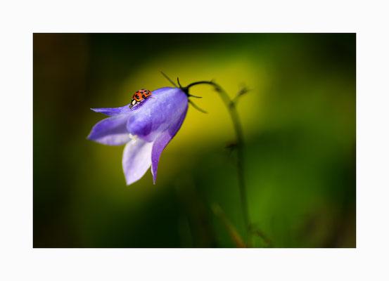 Blütenbesucher      Ein Marienkäfer auf der Suche nach  Blattläusen.  Bildgröße: 30 x 45 cm       Bildnummer:   005 / R