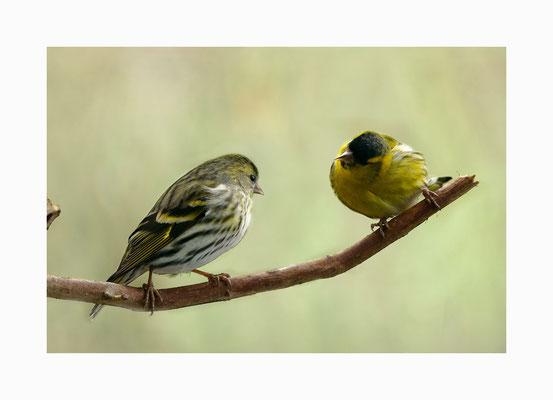 Vogelflirt  -  Es scheint als würde hier eine Vogel-Liebelei beginnen . Bildgröße: 30 x 45 cm       Bildnummer:   023/ R