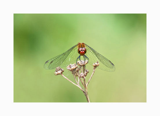 Ansitz - Rote Heidelibelle auf ihrem Jagdansitz.  Bildgröße: 30 x 45 cm       Bildnummer:   002 / R