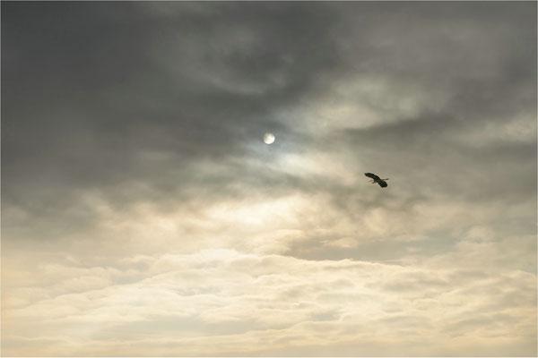 Überflug   (Graureiher)