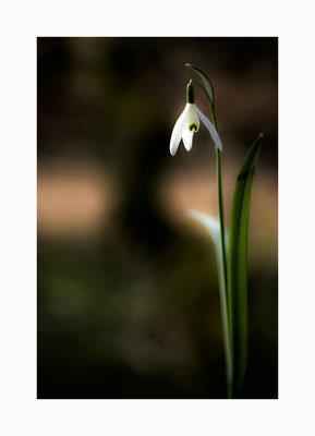 allein -  Ein einzelnes Schneeglöckchen stand einsam und verlassen  am Waldrand Bildgröße: 30 x 45 cm       Bildnummer:   001 / R