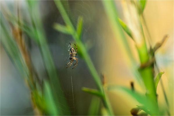eine der zahlreichen Spinnen die im Biotop ihre Netze anlegen