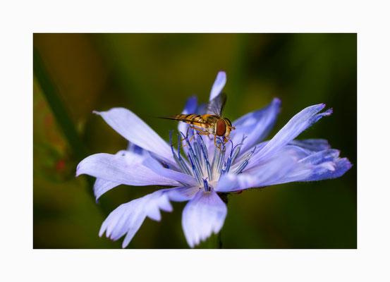 Pollensammler - Schwebfliege beim Absaugen der Blütenpollen.  Bildgröße: 30 x 45 cm       Bildnummer:   020 / R