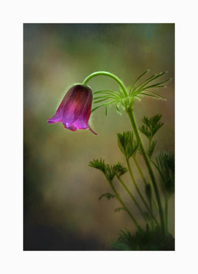Frühblüher -  Eine Augenweide unter den Frühblühern die Kuhschelle.   Bildgröße: 30 x 45 cm       Bildnummer:   014 / R