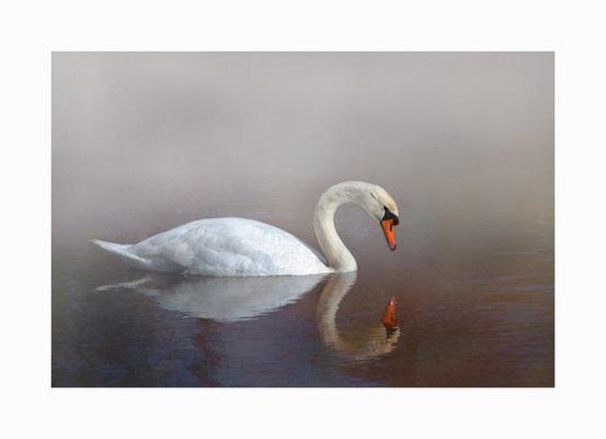 Narziss -  Der Schwan, so scheint es, ist in sein eigenes Spiegelbild verliebt. Bildgröße: 30 x 45 cm       Bildnummer:   021 / R