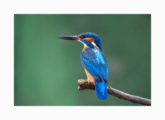 """fliegender Edelstein  -  Der  farbenfrohe Eisvogel wird im Volksmund  auch als """"fliegender Edelstein"""" bezeichnet.  Bildgröße: 30 x 45 cm       Bildnummer:   004 / S"""