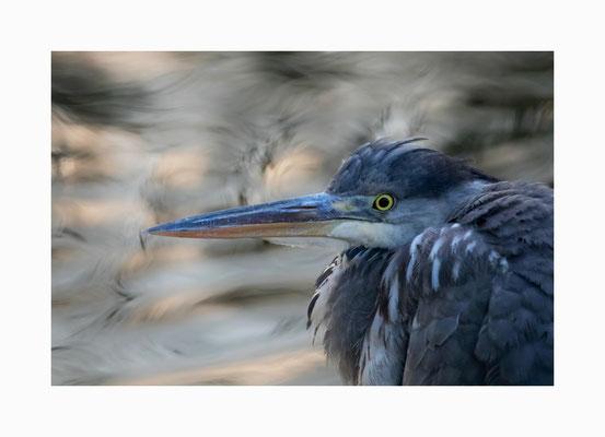 Fischräuber -  Der Graureiher ist  nicht gerade der Lieblingsvogel der Fischer und Angler.  Bildgröße: 30 x 45 cm       Bildnummer:   009/ S