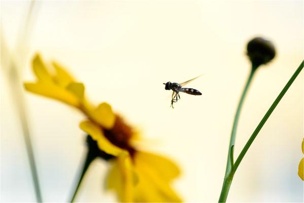 Schwebfliege im Anflug