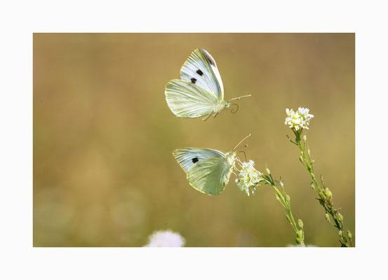 Anflug - Kohlweisslinge  auf  Nahrungssuche  Bildgröße: 30 x 45 cm       Bildnummer:   007 / R