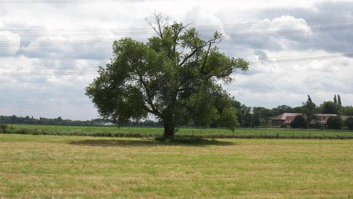 Der Steinkauz-Nistbaum in Anrath, Bild: Daniela