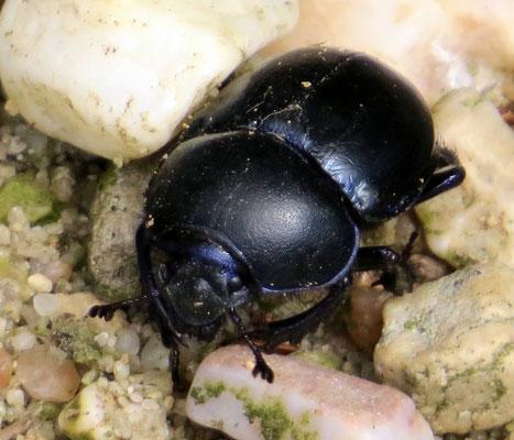 Käfer im Elmpter Bruch Bild: Franz Miertz