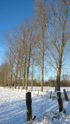 Pappeln im Winter, Bild: Edeltraud Spee