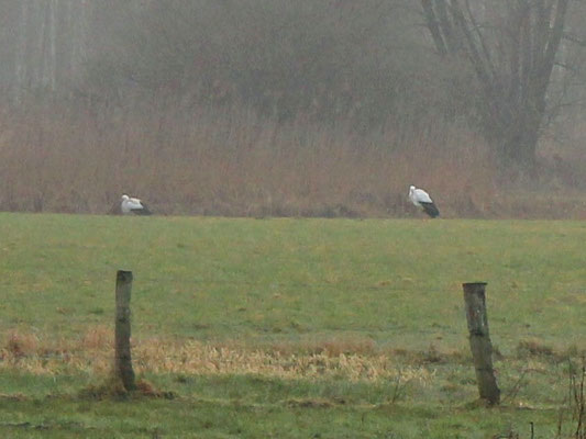 Feb. 2015, 7 Storche im Niederfeld, Foto: Herbert Camps
