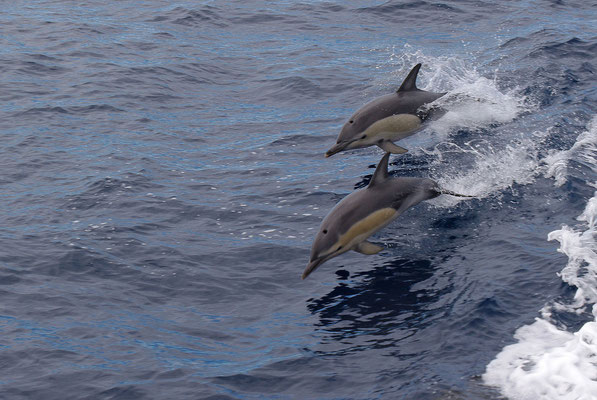 Common Dolphins, North Island © 2010 Stefan Pompetzki
