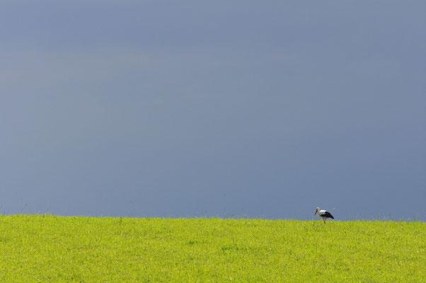 Ein Storch auf Futtersuche © 2014 Stefan Pompetzki