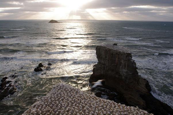 Australtölpelkolonie am Muriwai Beach, North Island  © 2010 Stefan Pompetzki