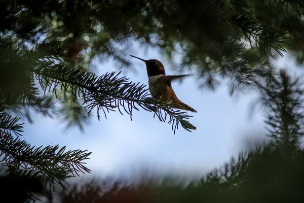 Colibri roux - Rufous Hummingbird - Selasphorus rufus
