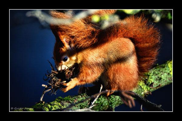 #52 Eichhörnchen