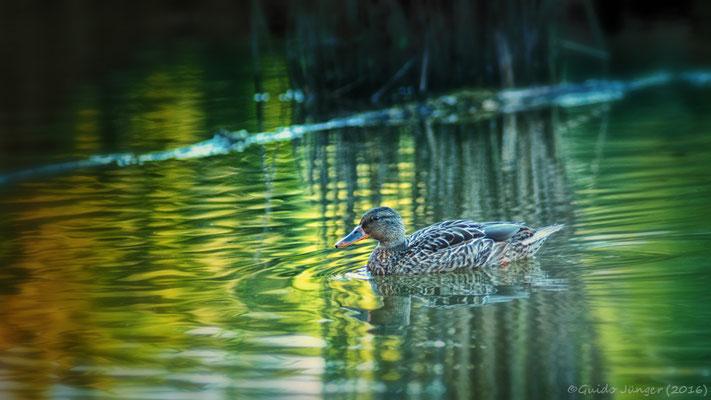 Ente im Niederzierer See