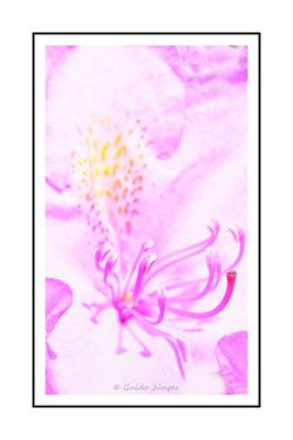 #63 Rhododendronblüte