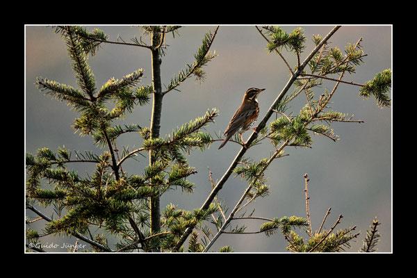 #44 Rotdrossel (Turdus iliacus)