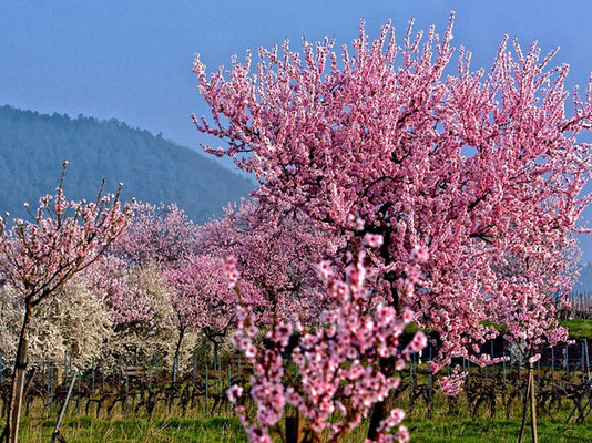 Mandelbaum in Blüte