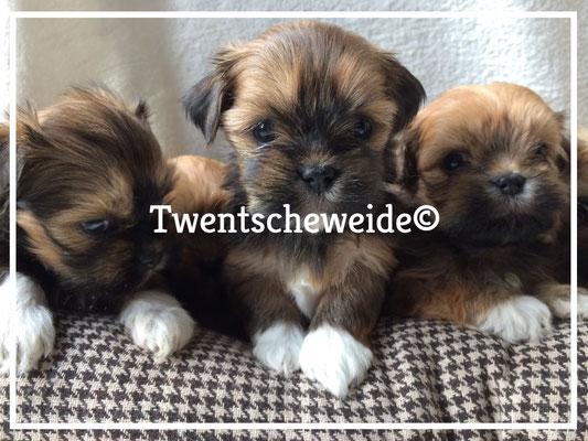 boomer puppies