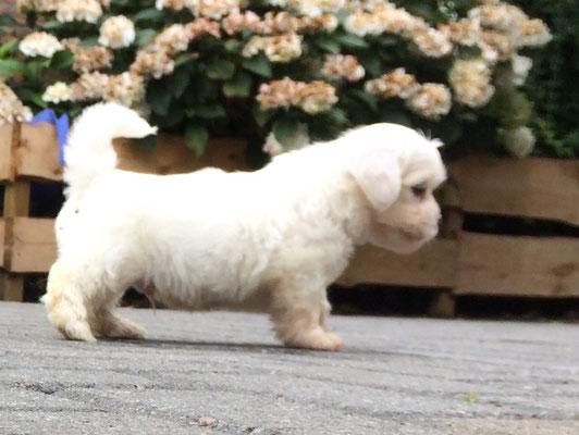 Boomer honden