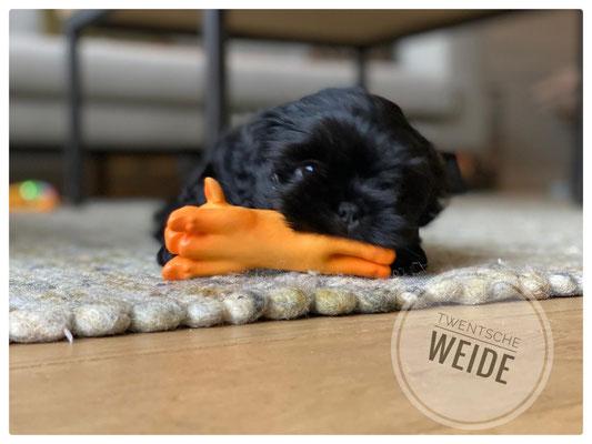 zwart boomer hondje