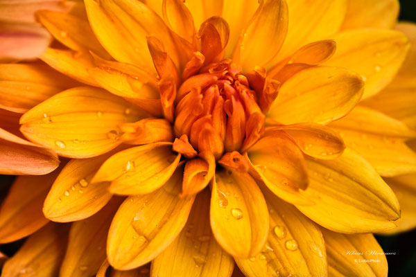 Dahlien mit offenen Blüten